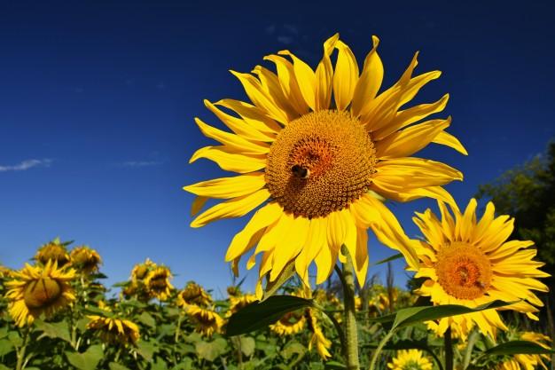 مزرعه آفتابگردان - خواص روغن آفتابگردان